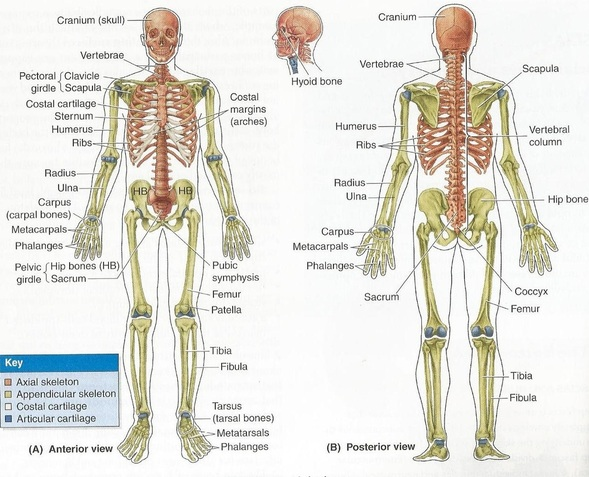 Overview Human Skeletal System In Embryology